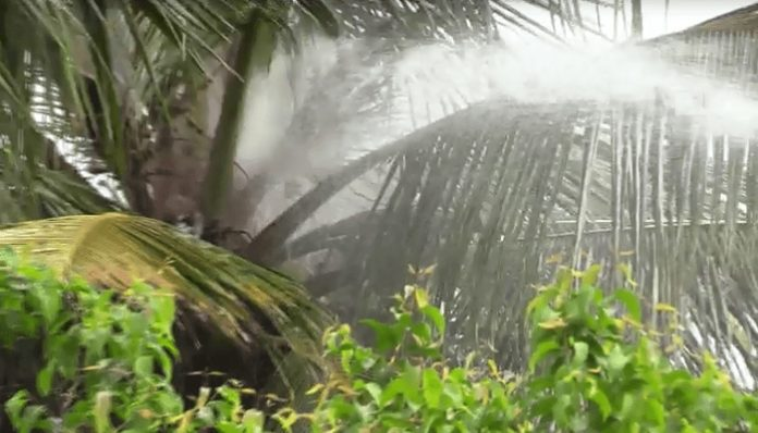 Coconut trees burned due to lightning fire in Jaffna